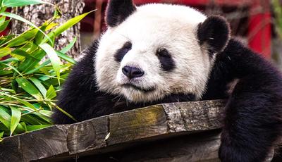 Panda bear on gray plank near a green plant